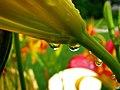 Floral Drops (3749119927).jpg