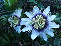 Flores de maracujá azedo (ou maracujá amarelo) (Passiflora edulis flavicarpa Degener) sobre cafezal (café (Coffea arabica L.)) - panoramio.jpg