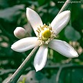 Flower of Lemon Tree.jpg
