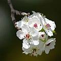 Flowering Pear Utah.jpg