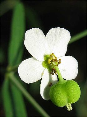 Flowering spurge blossom.jpg