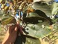 """Folhas de """"açoita-cavalo-graúdo"""" Luehea grandiflora Mart. & Zucc. (Malvaceae) 04.jpg"""