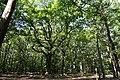 Forêt de Lespinasse (Loire) 003.jpg