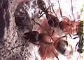 Formica sanguineapetit.jpg