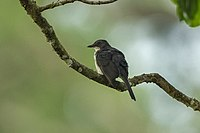 Fraser's Forest Flycatcher from Canopy Walkway - Kakum NP - Ghana 14 S4E2333.jpg