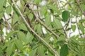 Fraxinus uhdei 8zz.jpg