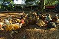 Free Range chickens feeding.jpg