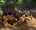 Free range - galinha caipira.jpg