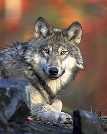 Photograph of a reclining North American wolf looking directly at the photographer