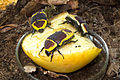 Fruit beetles (8118259389).jpg