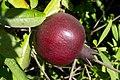 Fruit trees עצי פרי (46).JPG