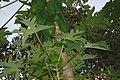 Frutta Papaia - panoramio.jpg