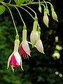 Fuchsia 'Alabama Improved'.JPG