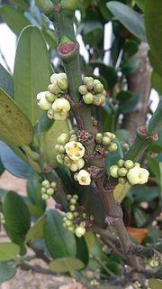 <i>Garcinia subelliptica</i> Species of flowering plant