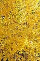 Full frame of yellow Aspen (3971400873).jpg