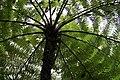 Funchal, Monte - Cyathea cooperi (Australischer Baumfarn) IMG 1916.JPG