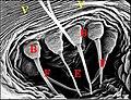 Fusules épigastriques de Ochyrocera caeruleo-amethystina.jpg