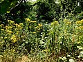 GT Ragwort in fallen Birch clearing.jpg