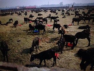 Gadhimai festival annual event in Nepal