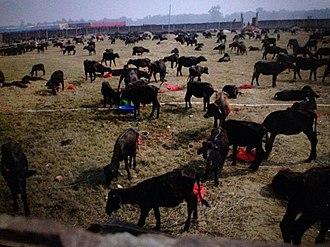 Gadhimai festival - Animals at Gadhimai festival
