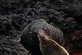 Galápagos fur seals (4229111296).jpg