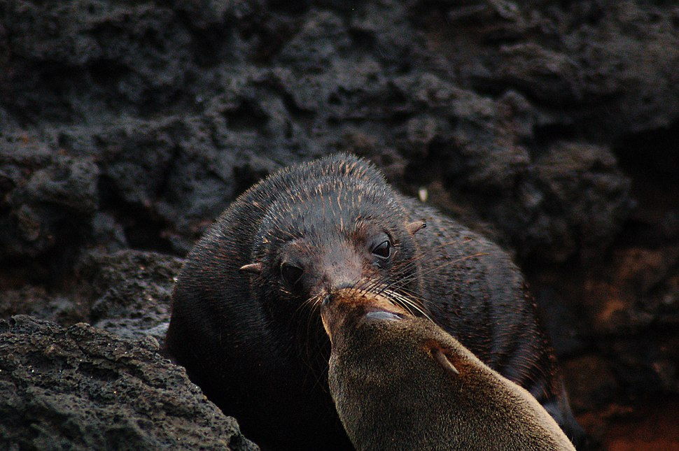 Galápagos fur seals (4229111296)