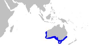 Australian sawtail catshark species of fish