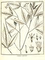Galipea trifoliata Aublet 1775 pl 269.jpg