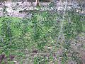 Gardenology.org-IMG 2576 ucla09.jpg