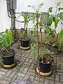 Gardenology.org-IMG 7812 qsbg11mar.jpg