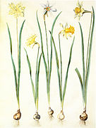Gc24 narcissus pseudonarcissus and poeticus.jpg