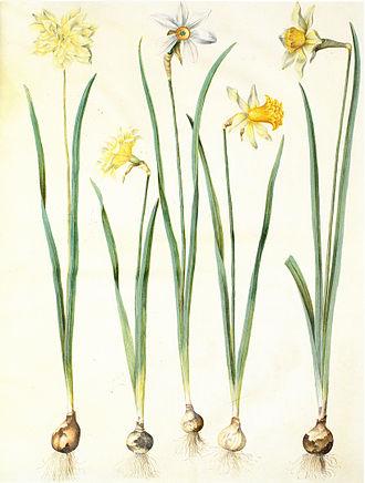 Narcissus poeticus - Botanical drawing, c. 1659 (N. poeticus in center)