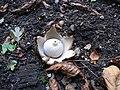 Geastrum fimbriatum 20050923 566.jpg
