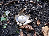 "A whitish spherical sac with a small pointy ""beak"" on top. The sac is resting on six smooth-surfaced fleshy rays. On the ground are dirt, pieces of decaying wood, small stones, and leaves."