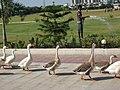 Geese in the Parade, Simada, Surat - panoramio.jpg