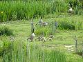 Geese with goslings (14376700054).jpg