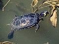 Gelbbauch-Schmuckschildkröte 6291374.jpg