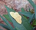 Gelber Schmetterling Madagaskar.JPG