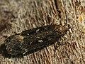 Gelechia sororculella - Dark-striped groundling (40196208904).jpg