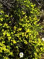 Genista sp - Flickr - peganum.jpg