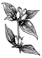 Gentian (PSF).png