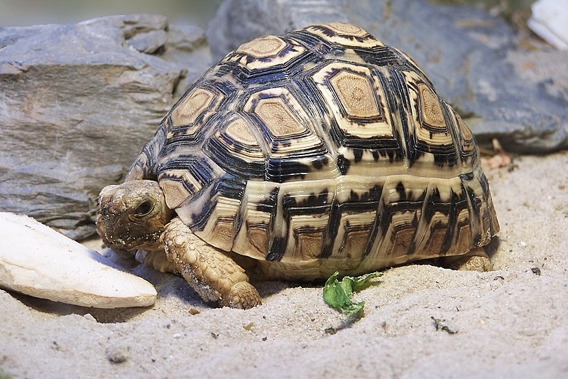 the natural history of the leopard tortoise   part 1
