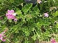 Geraniales - Pelargonium capitatum - 3.jpg