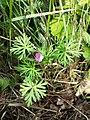 Geranium columbinum sl15.jpg