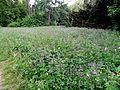 Geranium sylvaticum L. (9056232255).jpg