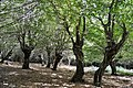Gernon Bushes SSSI, Pollard trees.jpg