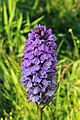 Gevlekte orchis. Orchis (Dactylorhiza maculata subsp. Maculata) 03.JPG