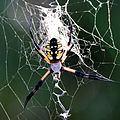 Giant spider in the backyard (Argiope aurantia).jpg