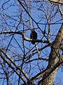 Gillis Falls Park turkey vulture 02.JPG