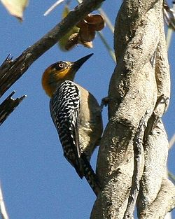 Golden-cheeked Woodpecker crop.jpg